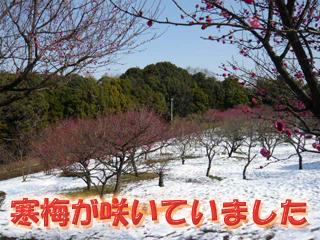 山田池公園寒梅ブログ