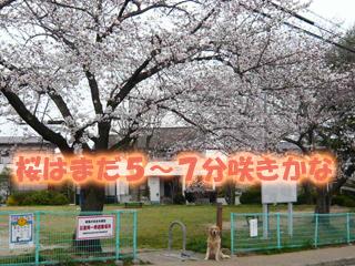 桜5分咲きブログ