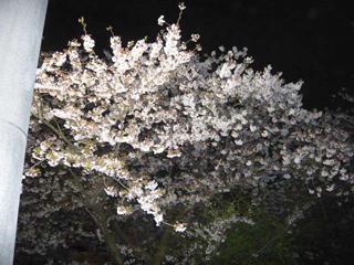 夜桜ブログ3