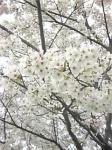 2007最後の桜