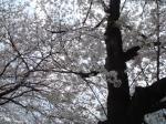 最後の桜だぁ~