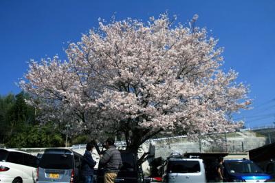相模湖桜、空
