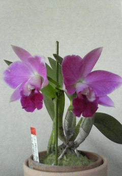 Lc.Mini Purple 'Dogashima'