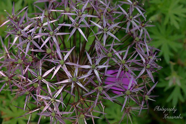アリウム・クリストフィ(Allium christphii)