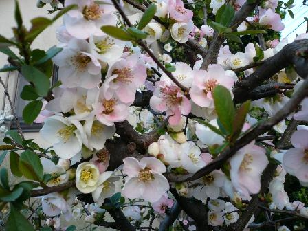 桜グラデーション
