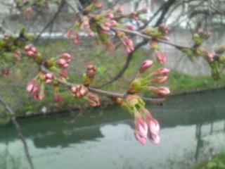 27日の桜観察