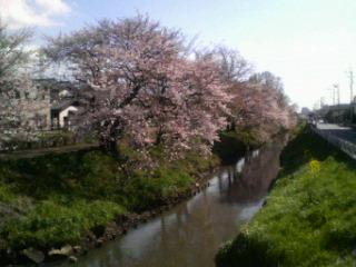 桜全景30日2