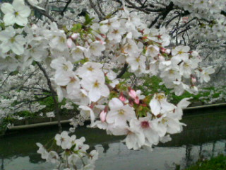 4月1日満開桜