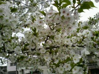 花ごとポトリの桜