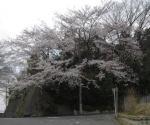 060330sakura.jpg