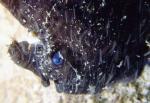 黒に青い目のイザリウオ