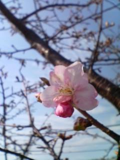 河津桜って言うんだって。
