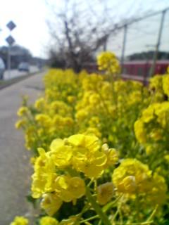 菜の花は満開。一面黄色!