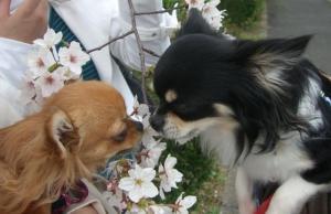 mamekina&sakura