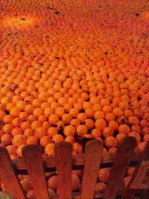 かぼちゃの海