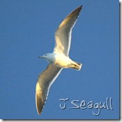 J.Seagull