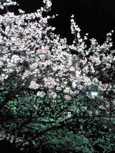 sakura_20080316191853.jpg