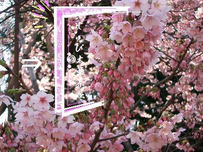 桜の入り口。。。こちら
