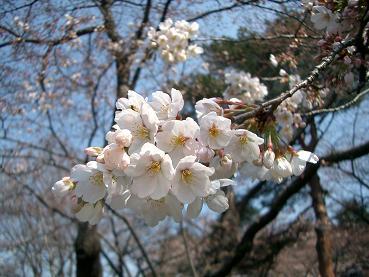 桜アップ18%4