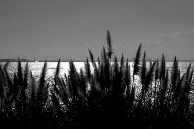 浜名湖のアシ