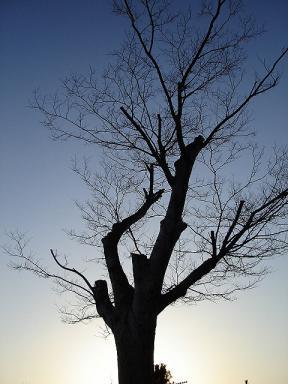夕暮れの老木