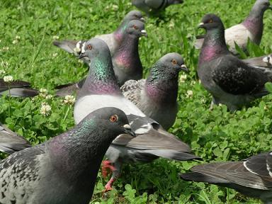 名古山の鳩の衆
