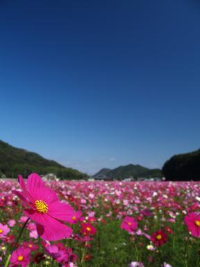 コスモス畑3