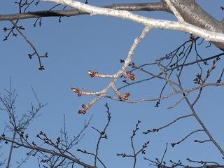 オオジマザクラが芽吹き~3月下旬