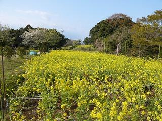 朴島菜の花