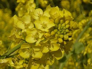 色っぽい菜の花?