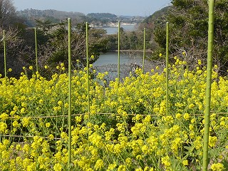 朴島菜の花2