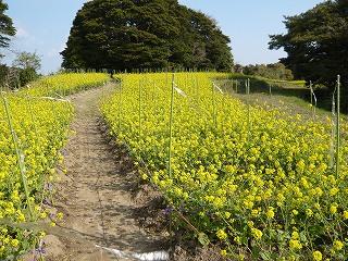朴島菜の花 トップ