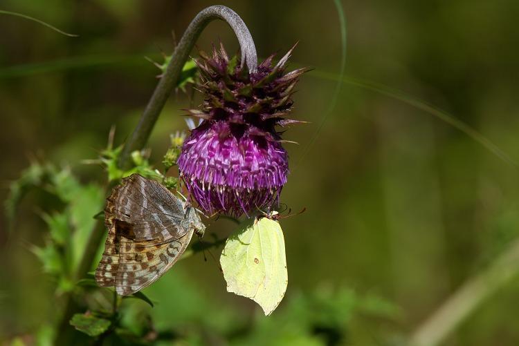 フジアザミに蝶