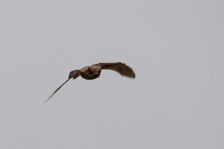 アブラコウモリ