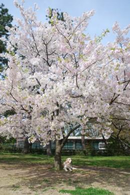 桜とバセロン1