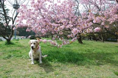 桜とバセロン4