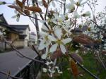 ジュンベリー開花!!4-29