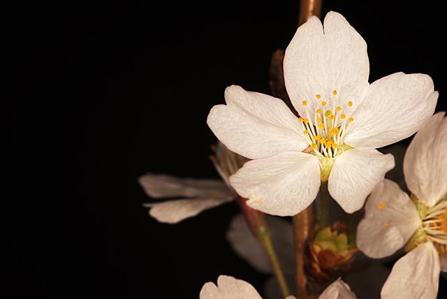 桜_080329_001