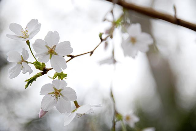桜_080329_004