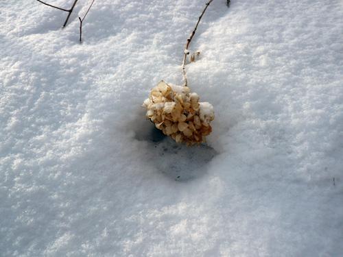 アジサイと雪