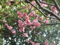 3/4参道の紅梅