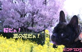満開の菜の花と桜