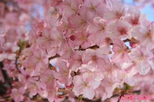 お昼の河津桜