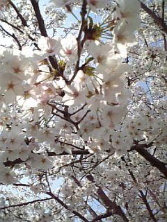 携帯で撮った桜