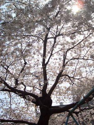 0403公園の桜