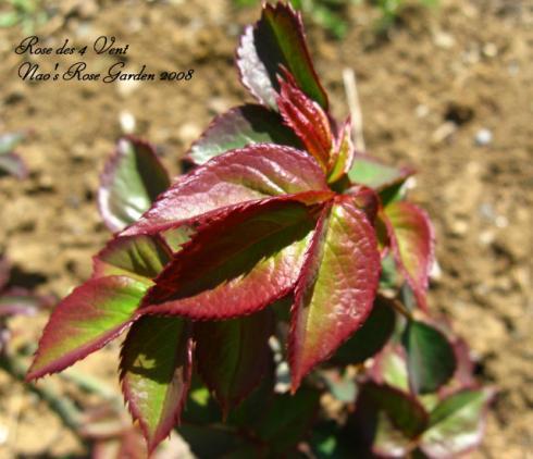 Rose des 4 Vent