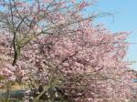 根本山の桜 3月8日①