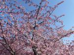 根本山の桜 3月8日②