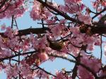 桜にメジロ①