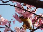 桜にメジロ②